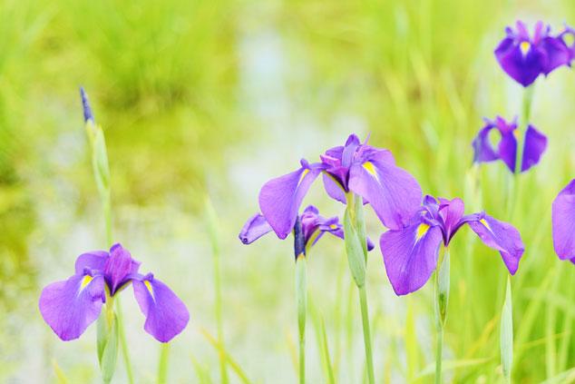 町の花(ノハナショウブ)