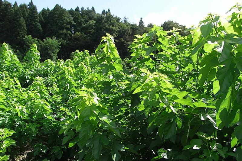 夏の間に青々と育つ桑の葉