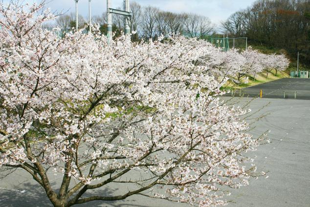 菖蒲沢公園の桜