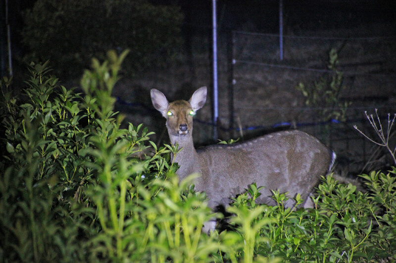 村の課題となっている鹿