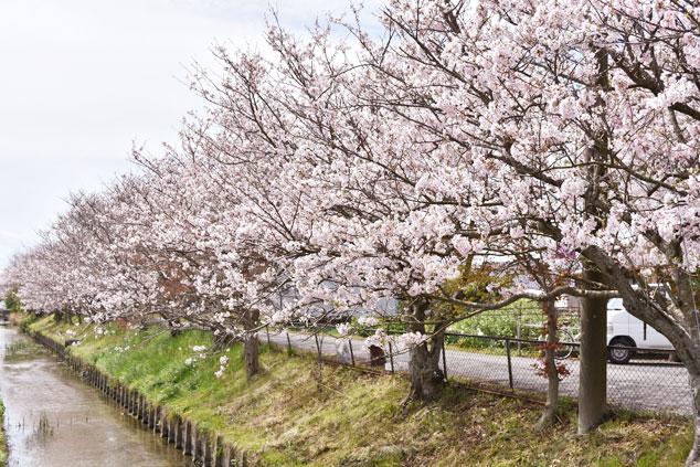 桜_0446