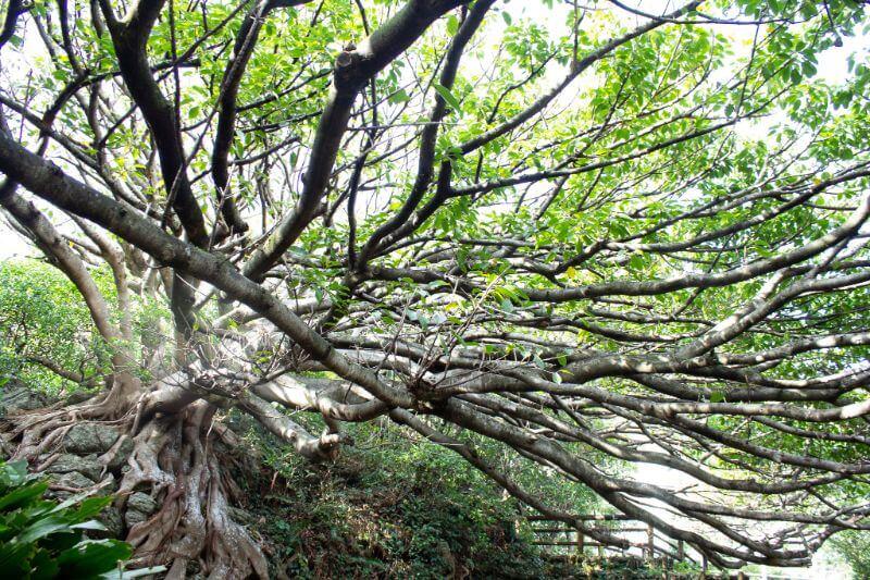 アコウの樹木