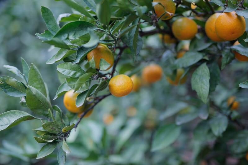 「紀州柑橘農園 善兵衛」の木になるみかん