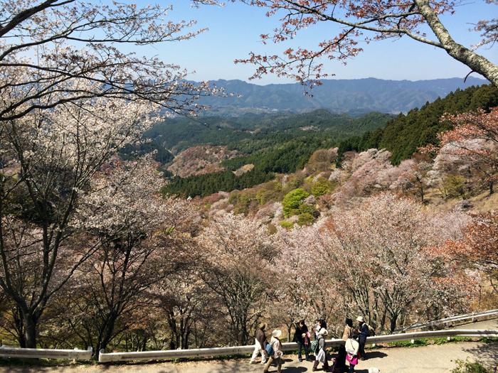 桜が満開を迎えた吉野山