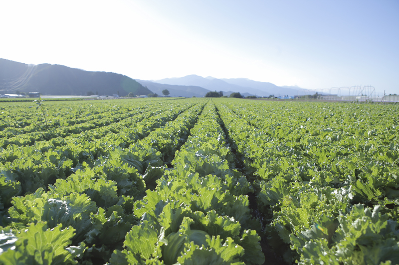葉物野菜の産地