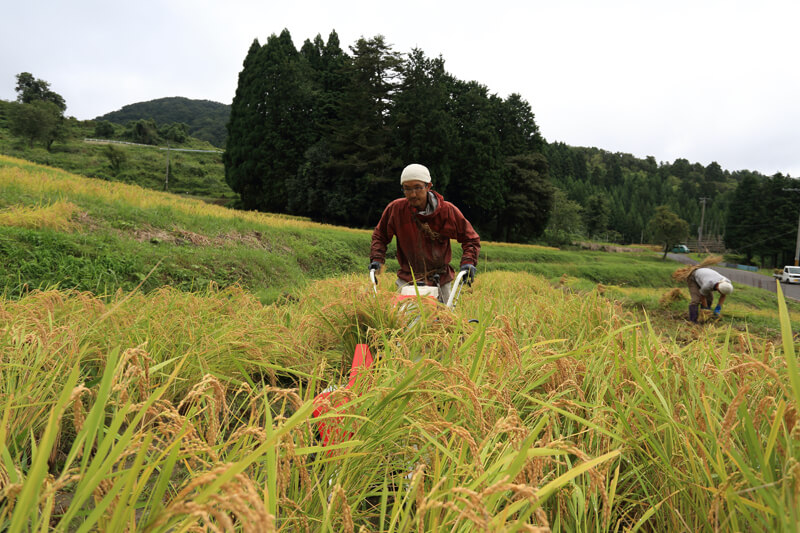 秋の稲刈り作業