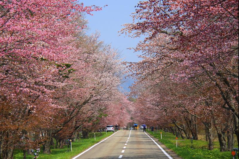 壮大に広がる桜並木