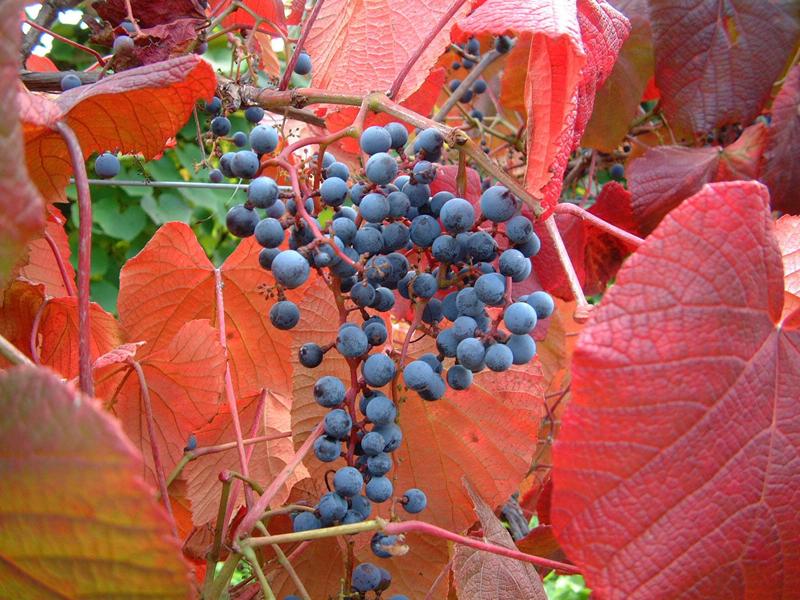 山ぶどうは「くずまきワイン」にも使用されています