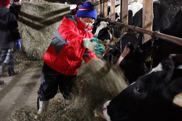 乳牛の世話