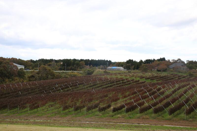 能登ワイン ぶどう畑