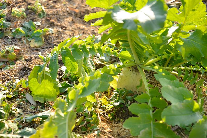「たむ農園」の大根
