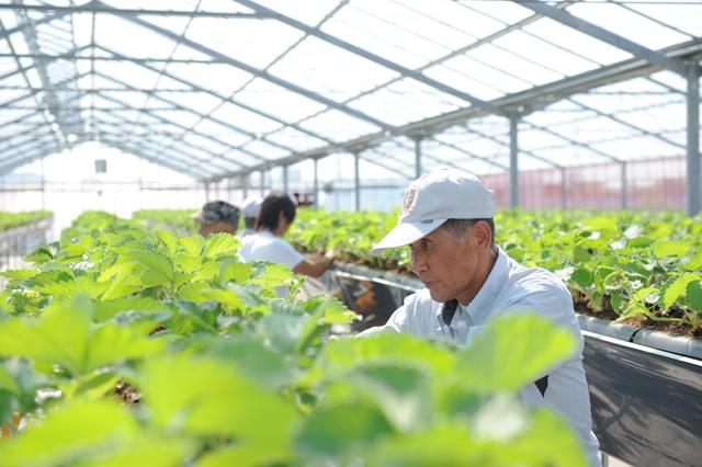 イチゴ農園で働く高齢者の方々